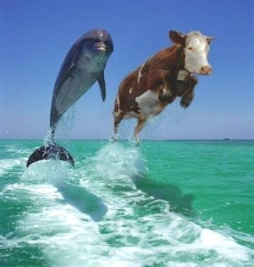 cow and dolphin swim together