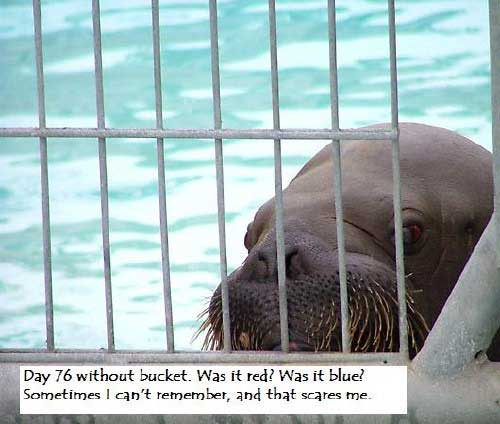 walrus day 76 without a bucket