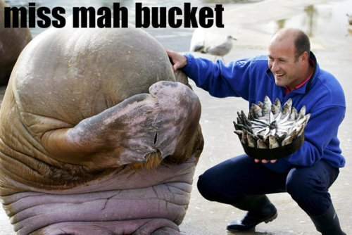 walrus misses his bucket