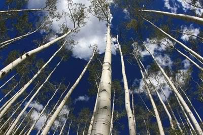 aspens in september