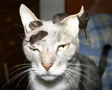 cat infested with mice