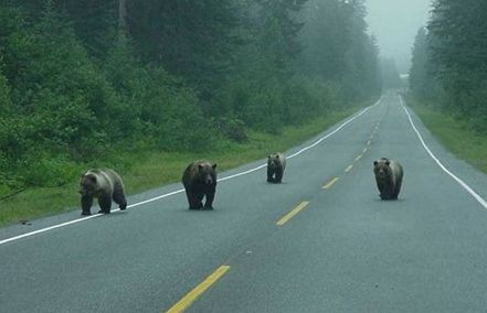 Bears on the road